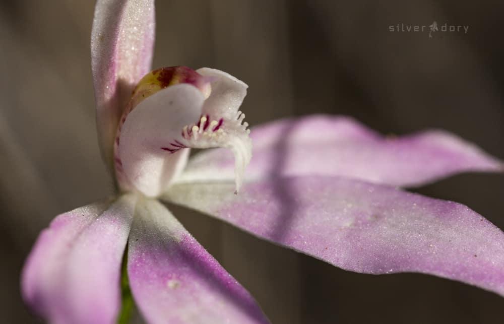 orchids | Aranda Bushlands