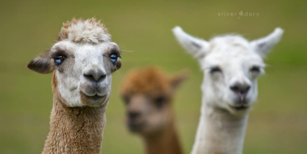 alpacas - Couria Creek Cottages